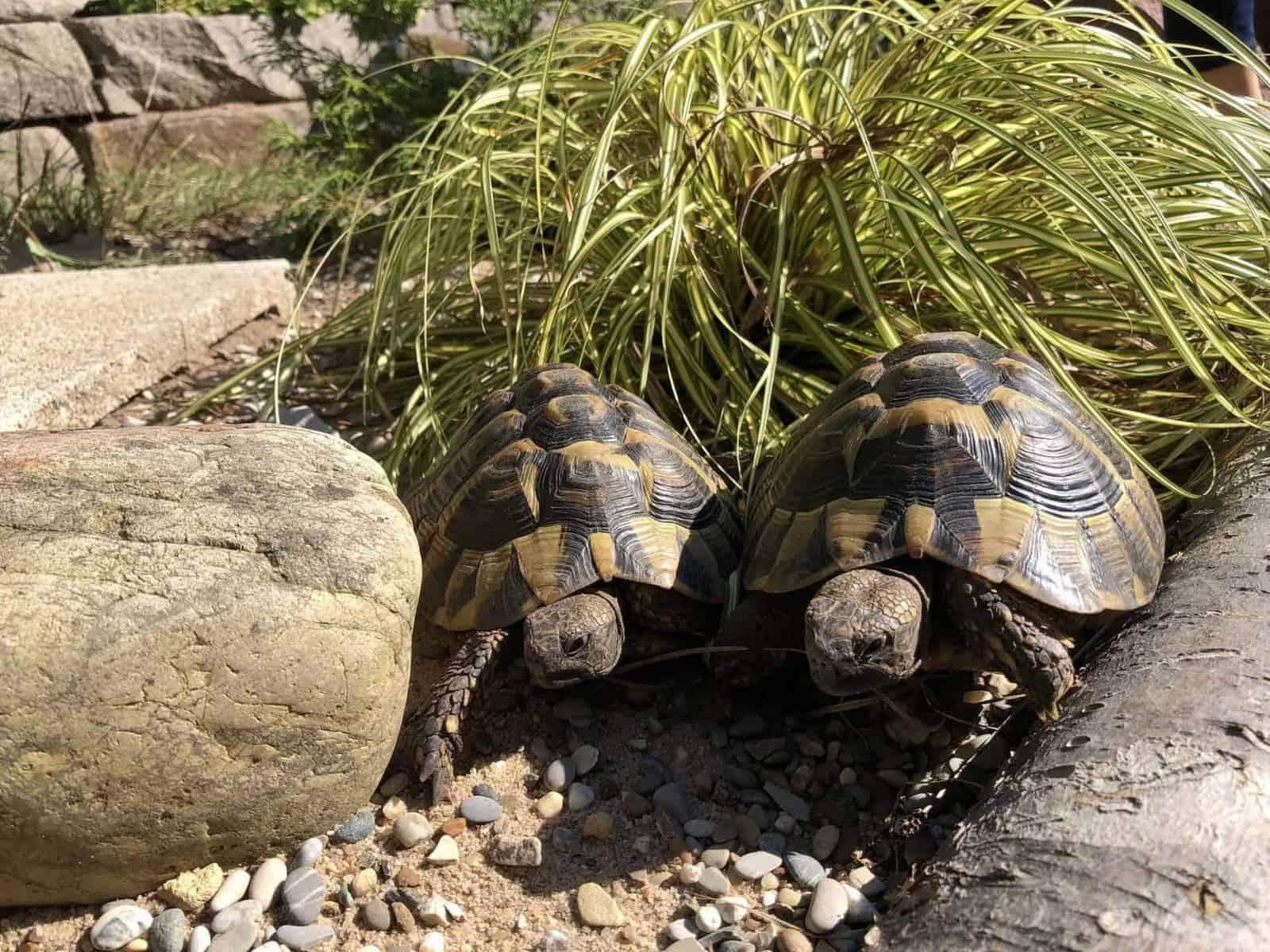 Winterschlaf der Landschildkröten